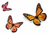 pic of monarch butterfly  - Three Monarch Butterflies Isolated on White Flying towards center of frame - JPG