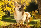 foto of corgi  - Welsh Corgi Pembroke dog - JPG