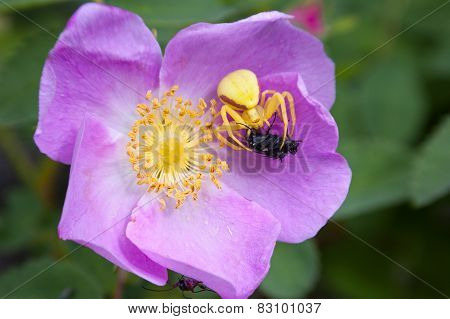 Goldenrod Spider catches fly pink wild rose