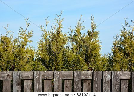 Thuja And Wooden Fence