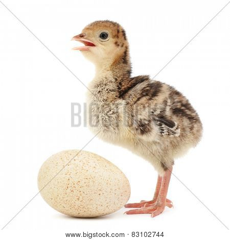 chicken turkey isolated on white background