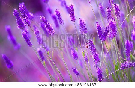 Bee On Misty Mauve Lavender