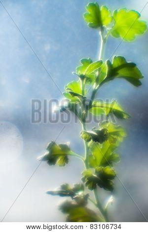 Branch of a geranium