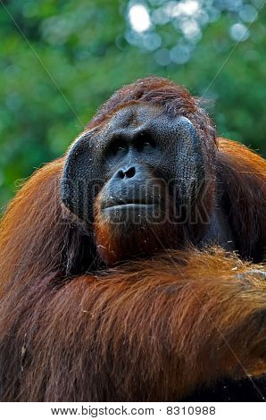 Big Orangutan Male