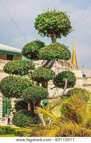 Beautiful Shaped Tree In The Wat Phra Kaew Temple, Bangkok, Thailand