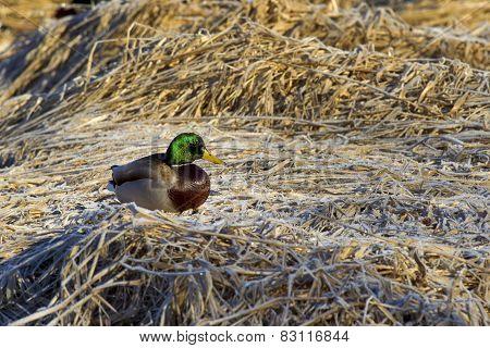 Mallard Perched On Brown Grass.