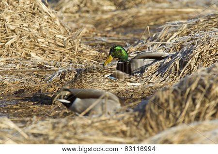 Mallards Nestled In Grass.