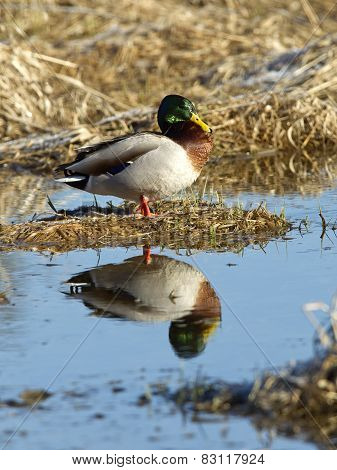 Mallard Casts Reflection.