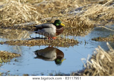 Mallard And Its Reflection.