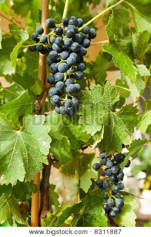 Grapes On A Vine 6