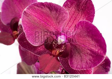 Flower Of An Orchit