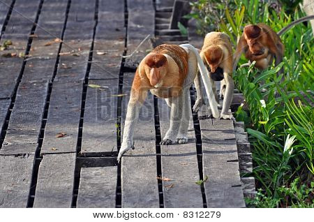 Proboscis Monkies