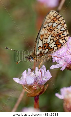 Small bordered fritillary