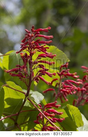 Red Buckeye - Aesculus Pavia - Wildflowers