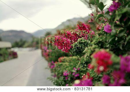 Vibrant pink flowers of weigela