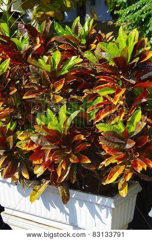 Croton Plant.