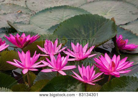 Pink Color Fresh Lotus Flower Blossom