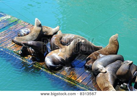Sealions On A Wooden Pier Dock