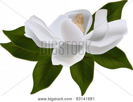illustration with magnolia flower isolated on white background