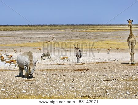 Black Rhino, Giraffe, oryx and springbok