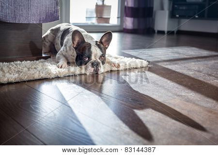 French bulldog lying down in sunny living room