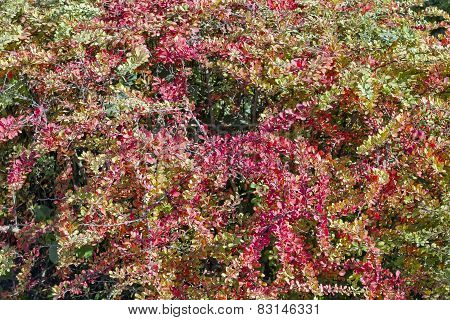 Barberry Bush Background