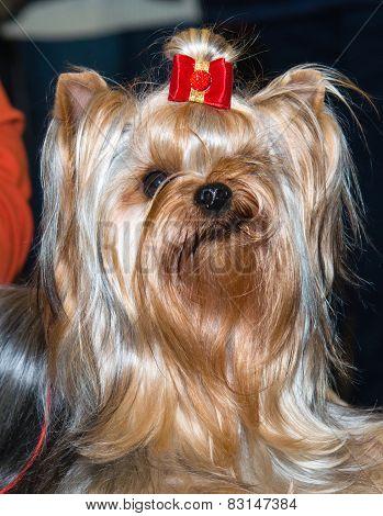Yorkshire Terrier  smile