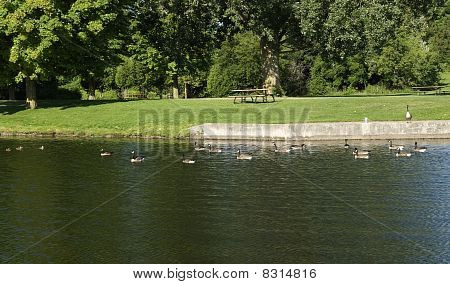canada geese swimming in the river