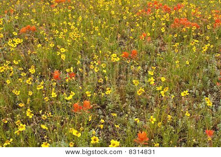 Field of Cosmos and Indian Paintbrush