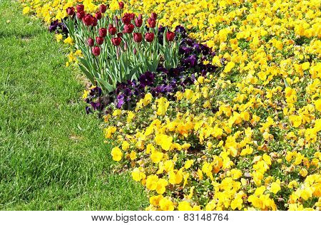 Tulips And  Pansies On The Flowerbed