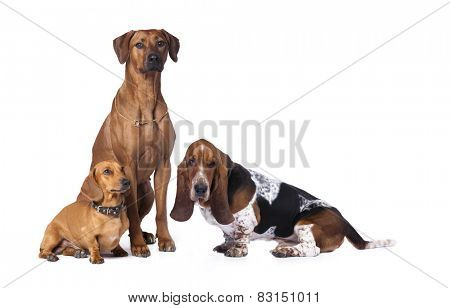 group of dogs, Rhodesian ridgeback  dog, Basset Hound,dachshund