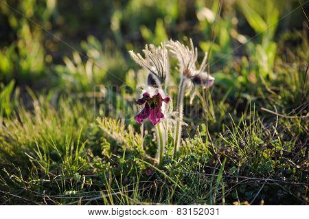 Pasque-flower in nature