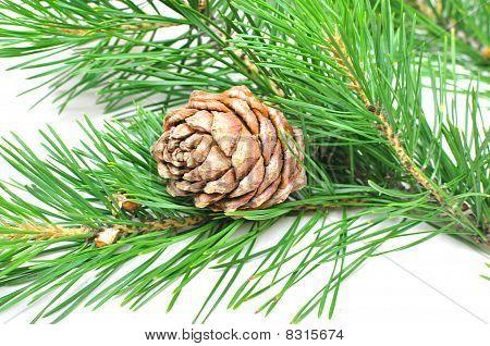Siberian Cedar