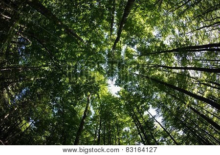 Fisheye view of a tree tops in a dense forest