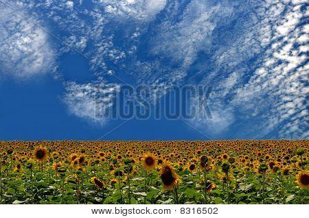 Sunflowers Andsky Blue
