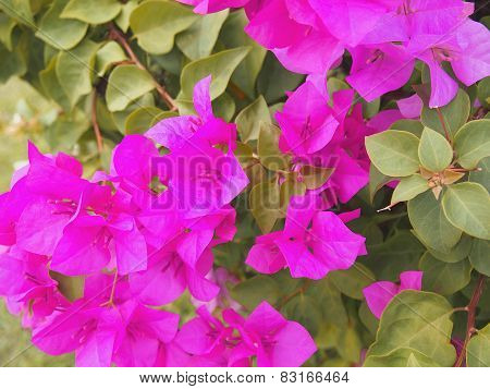 Bougainvillea Flower In The Garden, Paper Flower