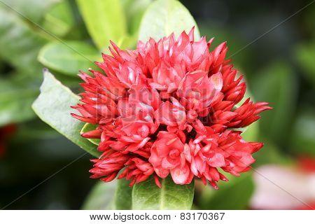 Close Up Ixoras With Natural Environment