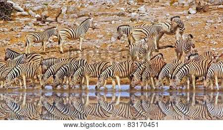 Herd of Zebras drinking form a waterhole