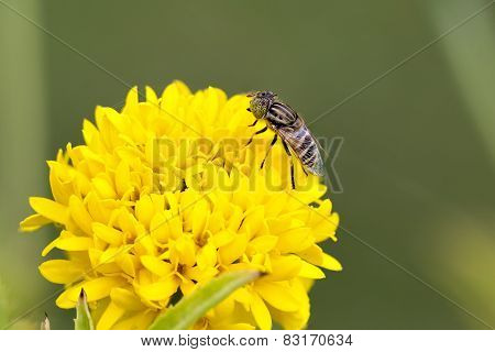 Pretty Yellow Marigolds And Flies