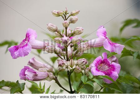 Pink Trumpet Vine, Pododranea Ricasoliana