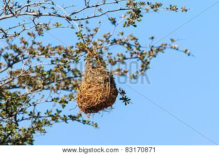 Nest Weaver Bird On Branch