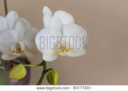 Close-up Phalaenopsis White