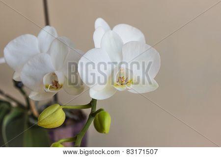 White Close-up Phalaenopsis