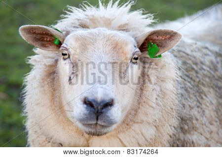 Head Of Adult Sheep In Meadow