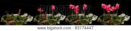 Time lapse series of pink cyclamen flowers blooming.