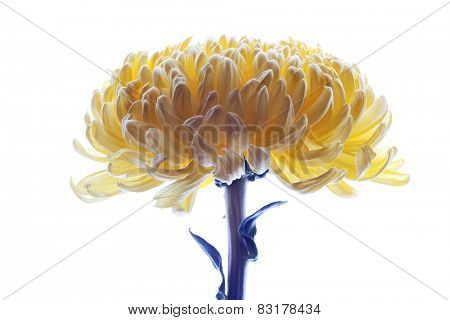 Dahlia flower  isolated on a white background