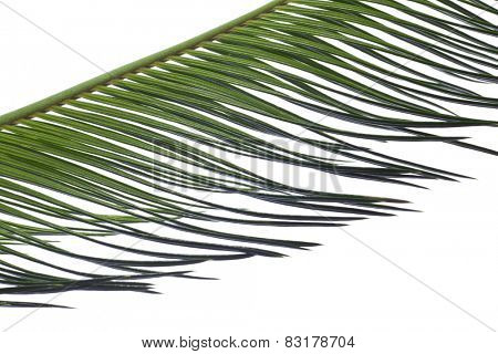 Green palm leaves isolated