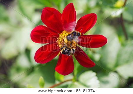 Bumblebees Pollinate Red Flower