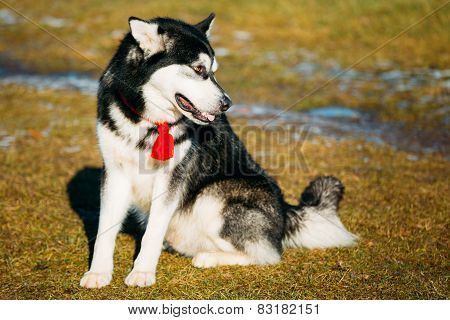 Beautiful Alaskan Malamute Dog Outdoor