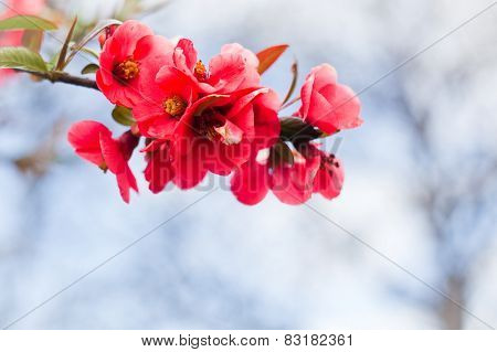 Apple flowers,Spring blossom